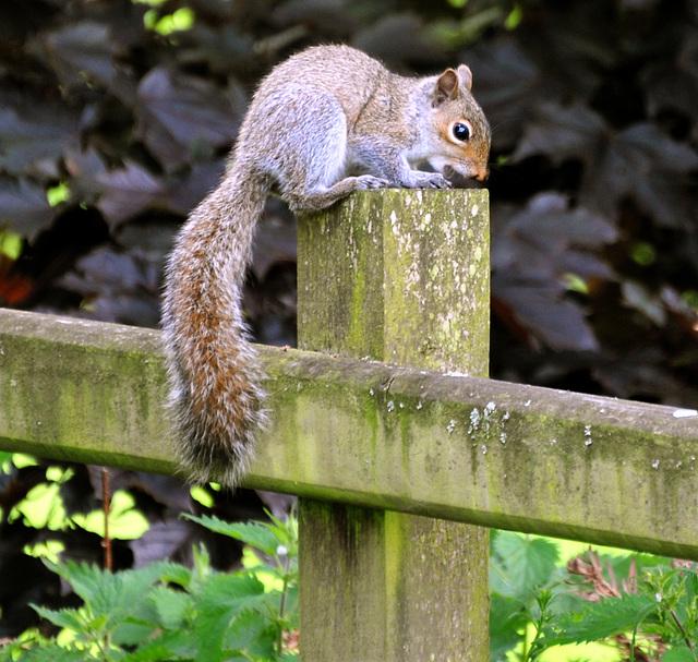 Grey squirrel (Sciurus carolinensis).