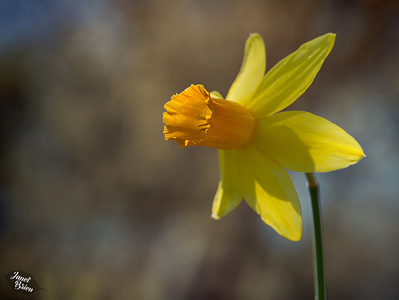 257/366: Glorious Golden-Cupped Daffodil