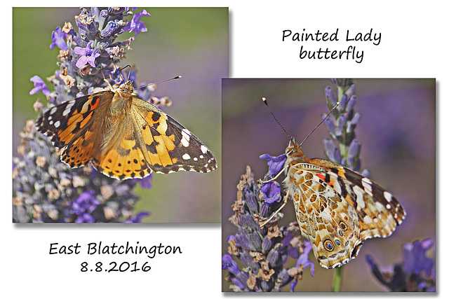 Painted Lady butterfly -  East Blatchington - 8.8.2016