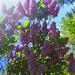 Flieder in meinem Garten - lilako en mia ĝardeno