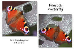 Peacock butterfly -  East Blatchington - 8.8.2016