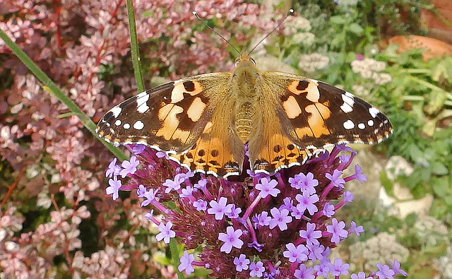 A Painted Lady. 24.08.16.