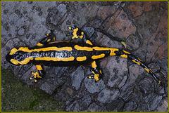 Salamander auf dem Weg unter die schützende Rinde