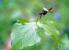 Trillium Blossoming