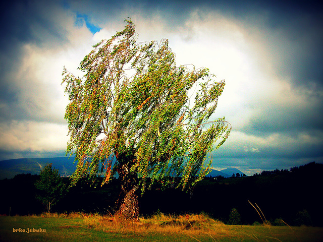 Solitary and sad birch
