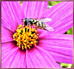 Hoverfly on Cosmea... ©UdoSm