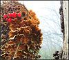 Myceteae/Solanum-----Rising Nebula