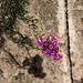 20141129 5678VRAw [CY] Löwenmaul, Bellapais Abtei,Kyrenia, Nordzypern