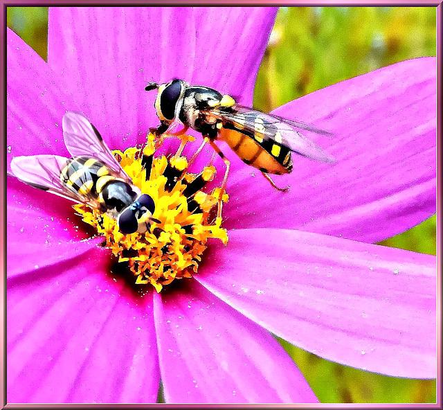 Platz für zwei Schwebfliegen... ©UdoSm