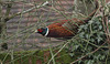 """""""Whoops, I've been spotted.""""     Pheasant (Phasianus colchicus)"""