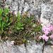 Zwerg-Alpenrose an steiler Felswand
