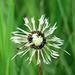 Dandelion seedhead in the rain
