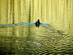 The Coot. The Wake. The Reflection 3