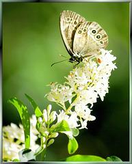 Braunauge (Lasiommata maera). ©UdoSm