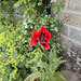gdn - red poppy