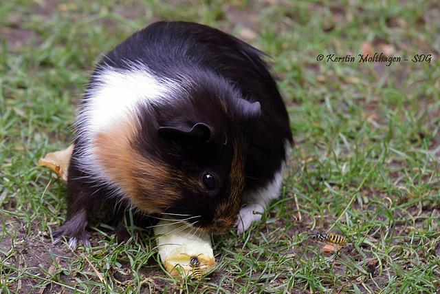 Meerschweinchen hat Essensgäste (Hagenbeck)