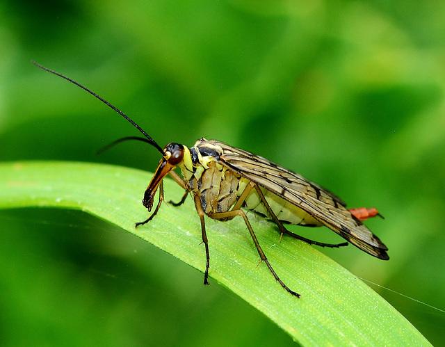 Panorpa germanica. Scorpion Fly,female