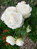 Des roses blanches pour Manchester , Londres et tous les autres...
