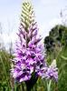 Orchidaceae.