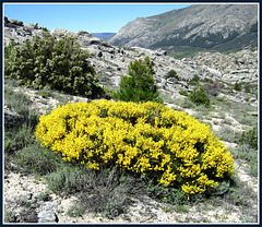 Gorse bush and granite
