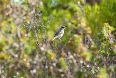 Singing Honeyeater