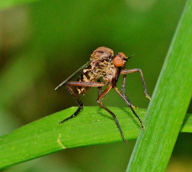 Anthomyiid Fly ??