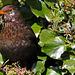 Blackbird Female ♀ (White Markings due to lack of pigmentation) 032 copy
