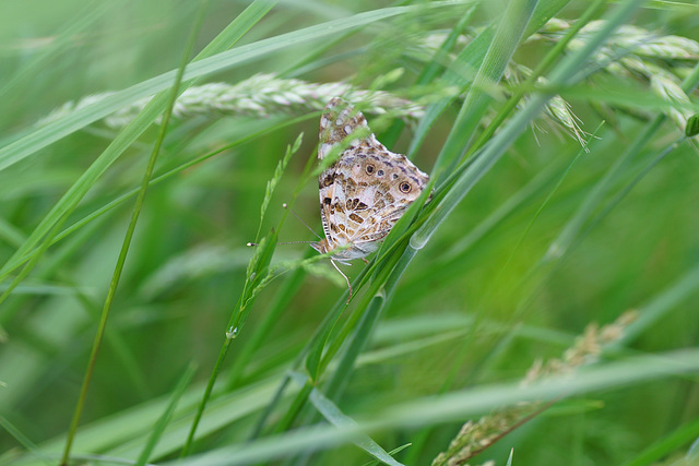 Schmetterlingspirsch im hohen Gras (Vanessa cardui)