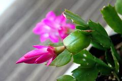 ... fleur de cactus ...