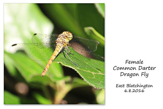 Common Darter female - East Blatchington - 6.8.2016