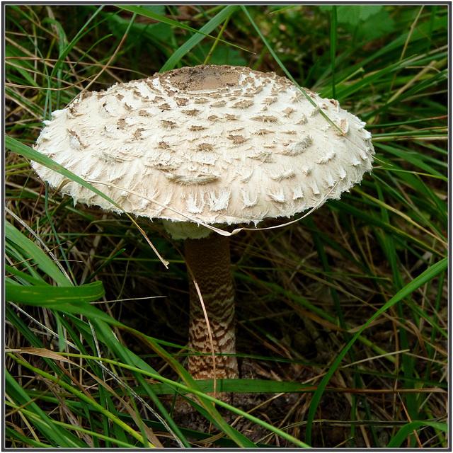 Funghi : Una bella mazza di tamburo (macrolepiota procera) - (853)