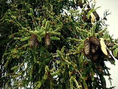 Picea glauca (White Spruce)