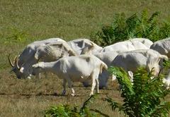 Troupeaux de chèvres en Ardèche...