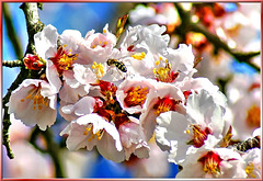 Blossoms of the almond tree... ©UdoSm