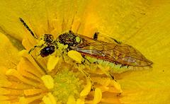 Rhogogaster viridis. Sawfly