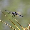Swift long-winged skimmer