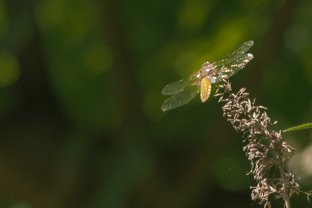 First Dragonfly of 2013 02