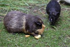 Meerschweinchen (Hagenbeck)