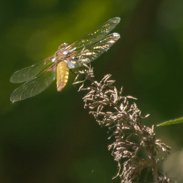 First Dragonfly of 2013 03