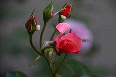 Роза надежды.