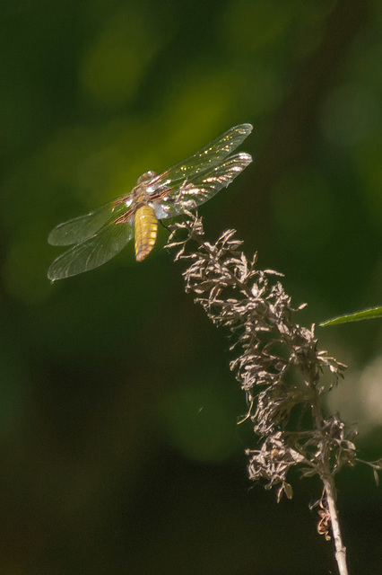 First Dragonfly of 2013 04