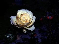 una rosa di dicembre