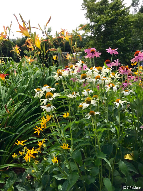 A profusion of wildflowers in Lake Waramaug, New Preston, Ct.