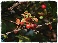 Crab apples and the Fall morning light