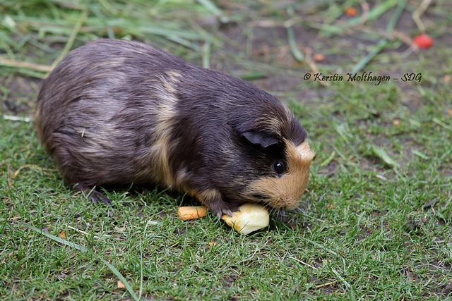 Meerschweinchen (Hagenbeck
