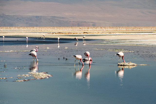 Andean flamingoes in Laguna Chaxa (PiP)