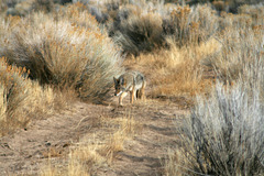 Coyote on a mission