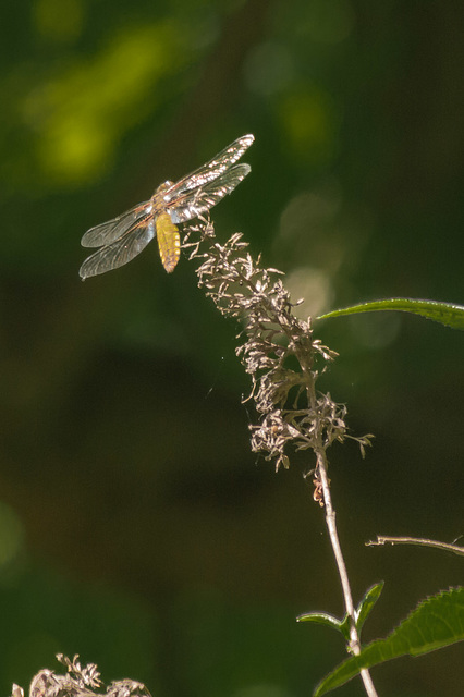 First Dragonfly of 2013 10