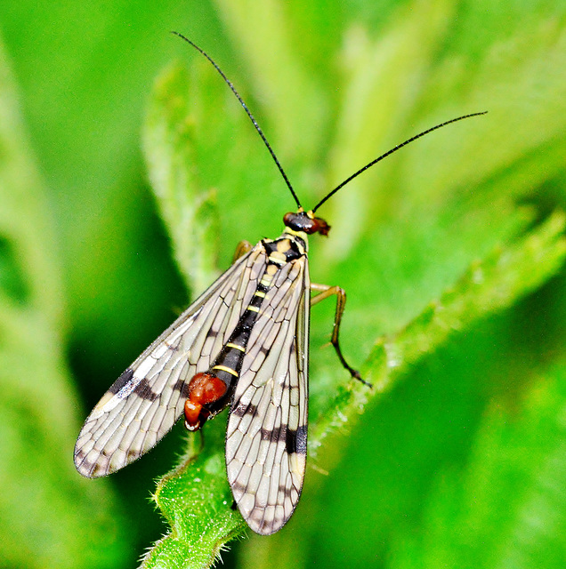 Panorpa germanica. Scorpion Fly,male