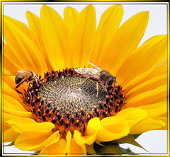 Hoverflies in sunflower-2. ©UdoSm